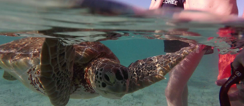 Snorkeling with Sea Turtles near Green Cay